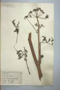 Cicuta virosa herbarium specimen from Biddulph,Biddulph Hall, VC39 Staffordshire in 1887 by Rev William Hunt Painter.