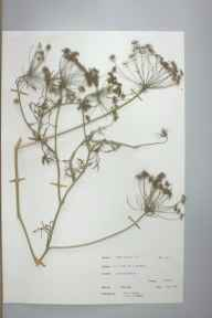 Ammi majus herbarium specimen from Wolverhampton, VC39 Staffordshire in 1966 by Mr C Jones.