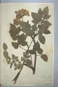 Angelica sylvestris herbarium specimen from Herne Bay, VC15 East Kent in 1894.