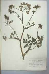 Angelica sylvestris herbarium specimen from Berwick Wharf, VC40 Shropshire in 1959 by I Haig-Brown.