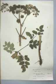 Angelica sylvestris herbarium specimen from Oughtonhead, VC20 Hertfordshire in 1962 by M H Newman.