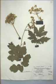 Heracleum sphondylium herbarium specimen from maesycrugiau, VC44 Carmarthenshire in 1961 by T Howard Thomas.