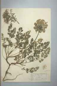 Daucus carota herbarium specimen from Praa Sands, VC1 West Cornwall in 1942 by D A J Little (BSBI).