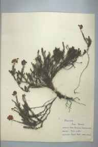 Erica tetralix herbarium specimen from Loch Cluanie, VC96 East Inverness-shire in 1959 by Janet Hunt.