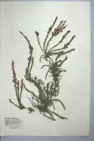 Calluna vulgaris herbarium specimen from Burry Port, VC44 Carmarthenshire in 1959 by Barbara A G Williams.