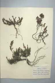 Calluna vulgaris herbarium specimen from Loch Cluanie, VC96 East Inverness-shire in 1959 by Janet Hunt.