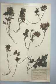 Vaccinium vitis-idaea herbarium specimen from Grasmoor, VC70 Cumberland in 1904 by Reginald Philip Gregory.