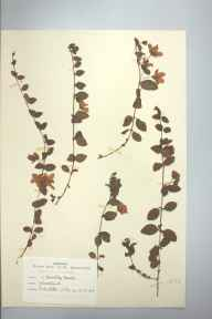 Lysimachia nummularia herbarium specimen from Headley Heath, VC17 Surrey in 1948 by D A J Little (BSBI).
