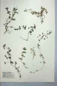 Anagallis arvensis herbarium specimen from Burry Port, VC44 Carmarthenshire in 1959 by Barbara A G Williams.