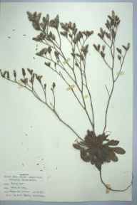 Limonium binervosum herbarium specimen from Burry Port, VC44 Carmarthenshire in 1959 by Barbara A G Williams.