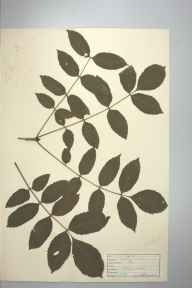 Fraxinus excelsior herbarium specimen from Trevaylor Woods, VC1 West Cornwall in 1946 by D A J Little (BSBI).