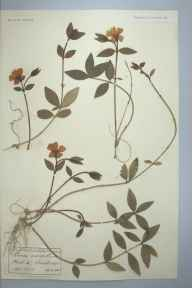 Vinca minor herbarium specimen from Edenbridge, VC16 West Kent in 1892 by Ernest Stanley Salmon.