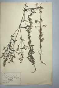 Galium boreale herbarium specimen from Wynch Bridge, VC65, VC66 in 1893 by Rev William Hunt Painter.