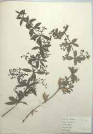 Rubia peregrina herbarium specimen from Portishead, VC6 North Somerset in 1894 by Henry Haselfoot Haines.