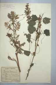 Cuscuta europaea herbarium specimen from Keynsham, VC6 North Somerset in 1895 by Mr James Walter White.