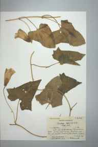 Calystegia sepium herbarium specimen from Mawddach Terrace, VC48 Merionethshire in 1961 by Richard Kenneth Brummitt.