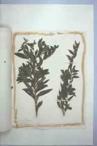 Lithospermum officinale herbarium specimen from Torquay, VC3 South Devon in 1879.