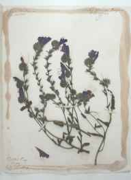 Echium plantagineum herbarium specimen from Portelet Bay, Jersey, VC113 Channel Islands in 1864.