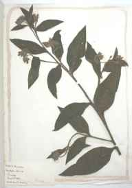 Symphytum officinale herbarium specimen from Worthing, VC13 West Sussex in 1887.