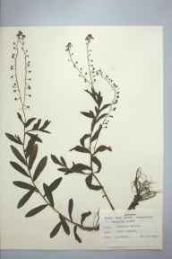 Myosotis laxa subsp. caespitosa herbarium specimen from Saint Brynach, Brecon, VC42 Breconshire in 1959 by D A Perks.