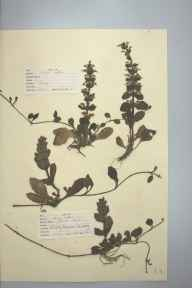 Ajuga reptans herbarium specimen from Wisley Common, VC17 Surrey in 1947 by D A J Little (BSBI).