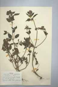 Galeopsis tetrahit herbarium specimen from Bournemouth, VC9 Dorset in 1951 by D A J Little (BSBI).