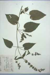Stachys sylvatica herbarium specimen from Harefield, VC21 Middlesex in 1973 by S J Lockyer.