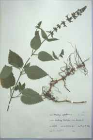 Stachys sylvatica herbarium specimen from Stocking, Presteigne, VC36 Herefordshire in 1964 by H L Hatfield.