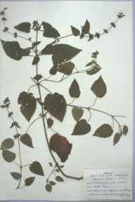 Stachys sylvatica herbarium specimen from Rhymney Valley, VC41 Glamorganshire in 1959 by Marjorie Janet Brown.