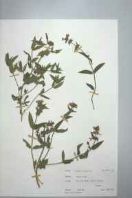 Stachys palustris herbarium specimen from Borth, VC46 Cardiganshire in 1975 by Dr Andrew David Quentin Agnew.