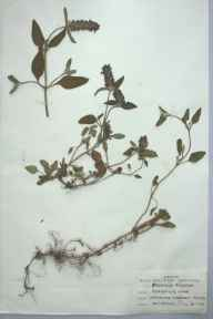 Prunella vulgaris herbarium specimen from Mydroilin, VC46 Cardiganshire in 1959 by M E Davies.