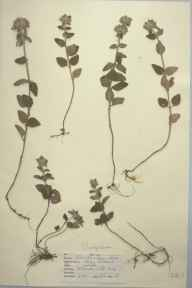 Clinopodium vulgare herbarium specimen from Betchworth Hills, VC17 Surrey in 1947 by D A J Little (BSBI).