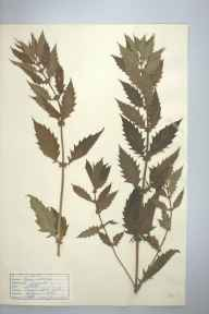 Lycopus europaeus herbarium specimen from Marazion Marsh, VC1 West Cornwall in 1941 by D A J Little (BSBI).