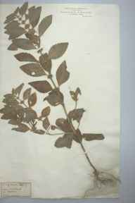 Mentha arvensis herbarium specimen from Whitchurch, VC40 Shropshire in 1882.