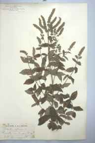 Mentha longifolia herbarium specimen from Eynsford, VC16 West Kent in 1881 by Mr James Groves.