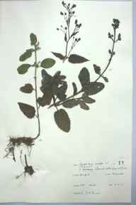 Scrophularia aquatica herbarium specimen from Weeford, VC39 Staffordshire in 1965 by J N Timmis.