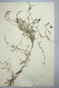Linaria repens herbarium specimen from Bow Street, VC46 Cardiganshire in 1905 by Charles L Walton.