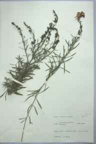 Linaria vulgaris herbarium specimen from Leatherfield Common, VC20 Hertfordshire in 1965 by J A Frowd.