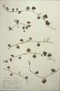 Cymbalaria muralis herbarium specimen from Penzance, VC1 West Cornwall in 1942 by D A J Little (BSBI).