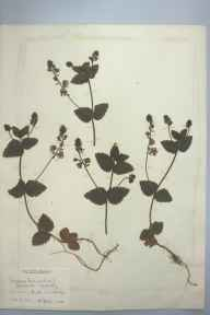 Veronica chamaedrys herbarium specimen from Cambridge, VC29 Cambridgeshire in 1898 by Prof Richard Henry Yapp.