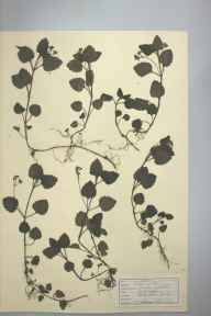Veronica montana herbarium specimen from Epping, Essex in 1947 by D A J Little (BSBI).