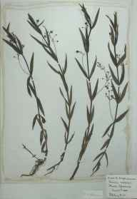 Veronica scutellata herbarium specimen from Patching Pond, VC13 West Sussex in 1888.