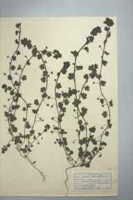 Veronica hederifolia herbarium specimen from Gulval, VC1 West Cornwall in 1947 by D A J Little (BSBI).