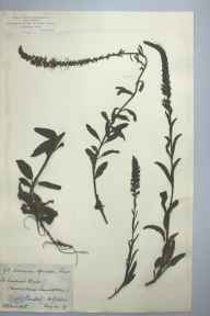 Veronica spicata herbarium specimen from Saint Vincent's Rocks, VC34 West Gloucestershire in 1879 by Mr William Booth Waterfall.