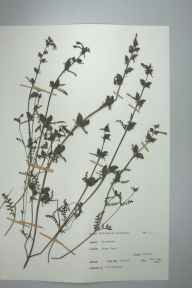 Pedicularis palustris herbarium specimen from River Towy, VC42 Breconshire in 1968 by Miss M Hildred Bigwood.