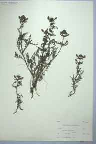 Pedicularis palustris herbarium specimen from Malham,Tarn Moss, VC64 Mid-west Yorkshire in 1952 by Prof Philip Frank Wareing.