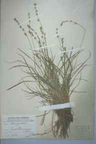 Carex divulsa herbarium specimen from South Mimms, VC20,VC21 in 1910 by Charles Smith Nicholson.