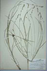 Carex divulsa herbarium specimen from Eastbourne, VC14 East Sussex in 1906 by Charles Smith Nicholson.
