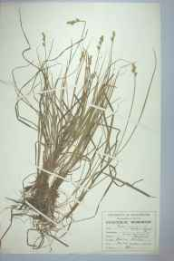 Carex curta herbarium specimen from Flaxmere, VC58 Cheshire in 1948 by Denis John Carr.
