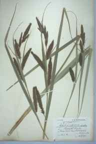 Carex riparia herbarium specimen from Market Harborough, VC55 Leicestershire in 1898 by Charles Smith Nicholson.